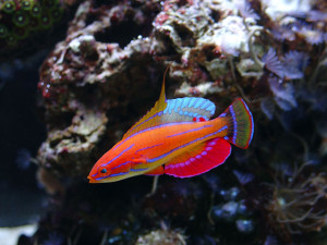 Wrasse - Fairy Carpenter