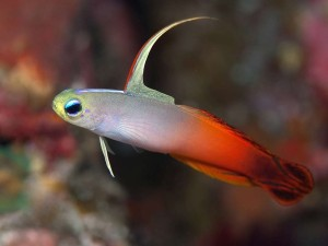 Goby - Firefish