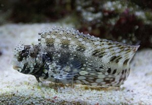 Blenny - Lawnmower