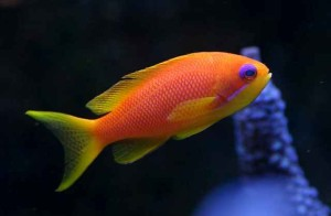 Anthias - Squampinnis Female